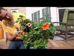 Which State Has A Hibiscus by Pruning Tropical Hibiscus Youtube