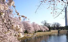 cherry blossom trees are blooming in d c weeks earlier than usual
