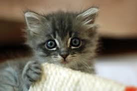 Cute Kittens Meme - file cute grey kitten jpg wikimedia commons
