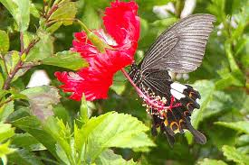 ryukyu hibiscus and helen butterfly gif animation