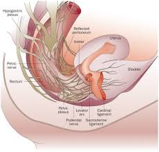 Perineum Anatomy Female Female Perineum Diagram Anatomy Organ