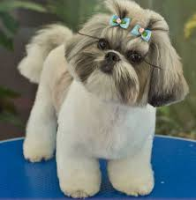 pictures of shih tzu haircuts 89 best shih tzu hair styles images on pinterest shih tzus