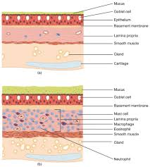 Anatomy And Physiology Cells And Tissues Organs And Structures Of The Respiratory System Anatomy And