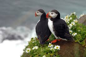 puffins in iceland local guides iceland