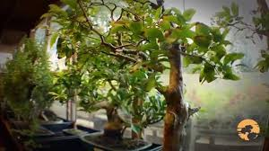 04 bonsai trees for beginners how to buy bonsai trees guide