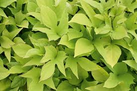 sweet caroline light green sweet potato vine ipomoea batatas
