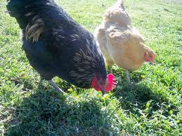 Backyard Chickens Com by Keeping Your Chickens Healthy Backyard Chickens