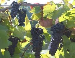 northern ny grape management update vineyard updates for the north