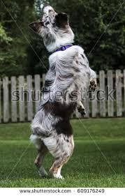 australian shepherd jumping australian shepard nose stock images royalty free images