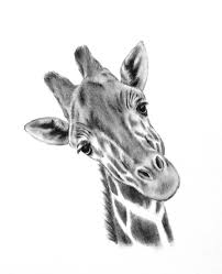 pictures animal sketches images drawing art gallery