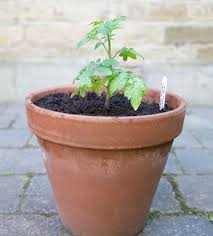 Bonnie Plants Patio Tomato Common Mistakes Growing Tomatoes In Containers