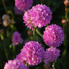 Flowering Shrubs That Like Full Sun - perennial flowers bloom guide costa farms