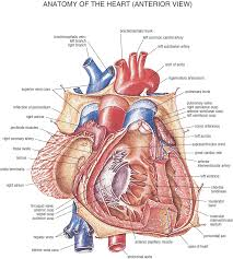 human anatomy human heart anatomy the heart and circulatory