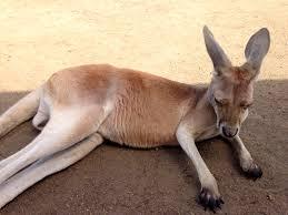 wednesday zen moment kangaroo heaven in the heart of british