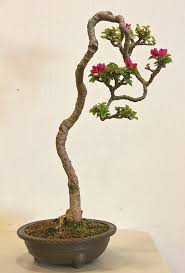 326 best bonsai images on pinterest bonsai trees bonsai plants