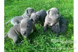 american pit bull terrier zucht rassehunde pit bull kleinanzeigen seite 2