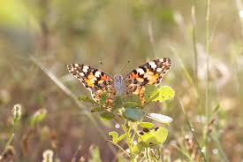 discovered a butterfly migration of more than 4000 km butterfly
