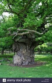 major oak tree sherwood forest stock photos u0026 major oak tree