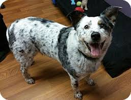 rescue a australian shepherd buddy rescue only adopted dog 5816 lisbon oh australian