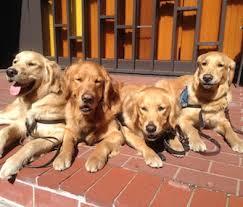 Comfort Golden Pet Scoop Orphaned Baby Bear Rescued In Tahoe Comfort Dogs