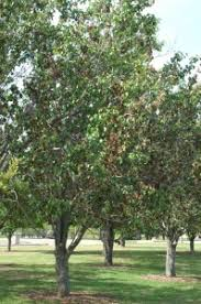 blight of ornamental pears plant disease diagnostic lab