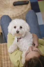 bichon frise 4 months old 11 best bichon frise grooming images on pinterest bichons