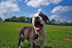 american pitbull terrier in india do you know the difference between a pit bull and an american pit