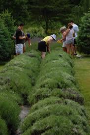 planting u0026 care sunshine lavender farm