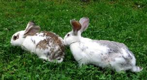 How Do I Get Rid Of Rabbits In My Backyard Common Causes Of Sudden Death In Healthy Rabbits Pethelpful