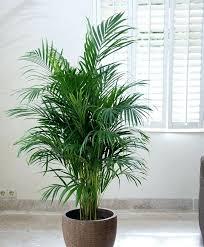plante dans la chambre plantes pour chambre indasad quelles plantes vertes pour une chambre