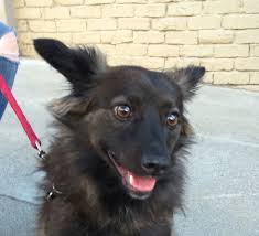 belgian sheepdog chow mix dog of the day oliver the possible keeshond mix the dogs of san