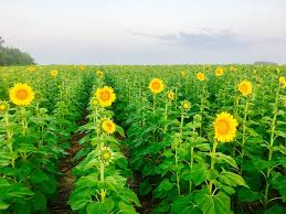 In Bloom Sunflowers In Berryton Field Ready For Visitors The