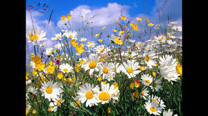 rebecca tripp buttercups and daisies youtube