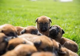 belgian malinois dog advanced canine solutions