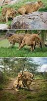 lions bears thanksgiving 207 best lion camp images on pinterest animals big cats and