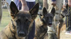 belgian shepherd nz dogs that guard the white house will now help track tiger poachers