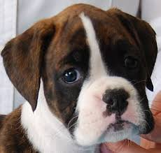 boxer dog reverse brindle 251 best images about viecherei on pinterest