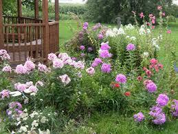 phlox flower flower gallery