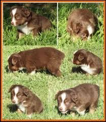 australian shepherd puppies 4 weeks jessie u0027s litter 2 pup6 blue eyed bet red tri female miniature