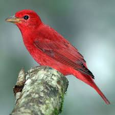 Mississippi birds images Nature picture selection red bird jpg