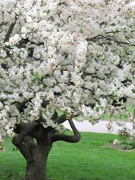 apple blossom tree higher power blossom trees and