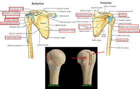 Shoulder And Arm Muscles Anatomy 2 03 Scapula Posterior Arm Muscles U0026 Shoulder Joint Anatomy