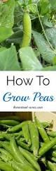 how to grow peas homestead acres