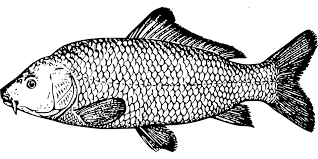 free vector graphic fish carp species fins scale free image