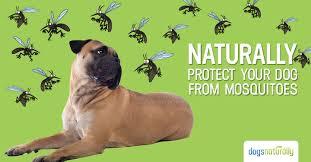 natural mosquito repellents 3 natural dog mosquito repellent options