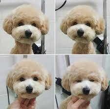 haircutsfordogs poodlemix grooming pinteres