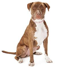 american pitbull a terrier unravelling the personality traits of a boxer pitbull mix dog
