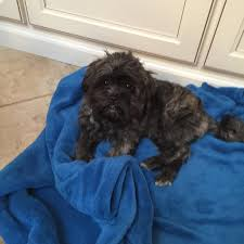 affenpinscher good bad bought a puppy mill dog and devastated dogs
