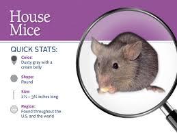 house mice profile control u0026 identification of mice