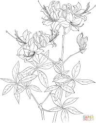 rhododendron calendulaceum or flame azalea coloring page free